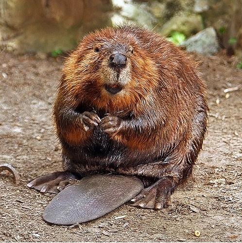 Happy Beaver