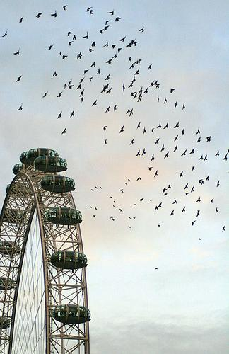 Flock of Starlings swarm the London Eye