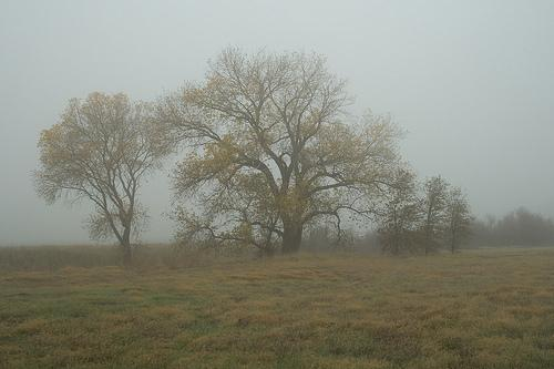 Cottonwood in the Fog