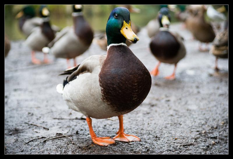 Duck 2