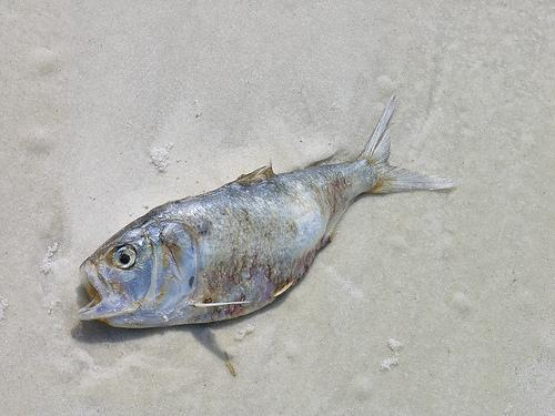 Dead Fish on Beach after Red Tide (concentration of algae that's toxic to fish)