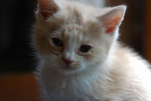 white and yellow cat