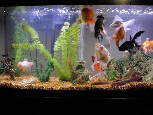 My goldfish tank _55 gal