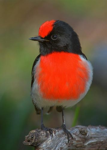 Red-capped Robin, male