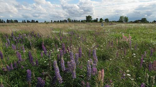 In Open Fields of Wildflowers - Lupine and Daisies IMG_2123